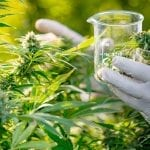 A scientist at a medical marijuana testing facility harvests a cannabis plant.